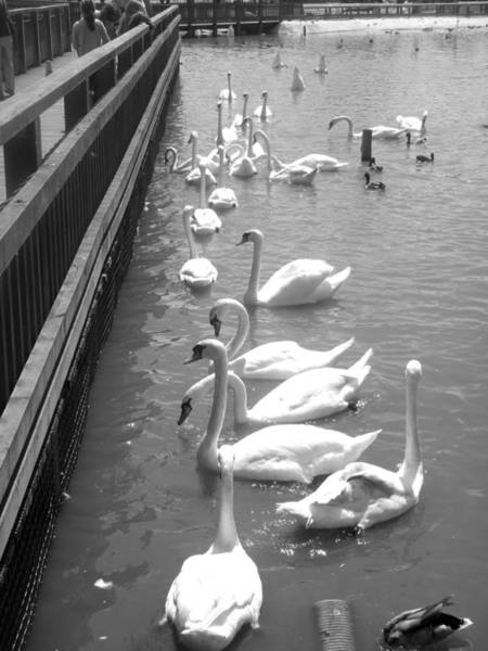 Photograph - Feeding Swams by Roberto Alamino