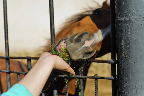 Photograph - Feeding The Horses In The Zoo by Michael Goyberg