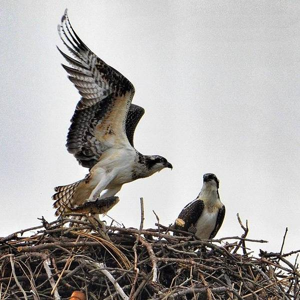 Nature Seekers Photograph - Feeding Time For The Ospreys by Penni D'Aulerio