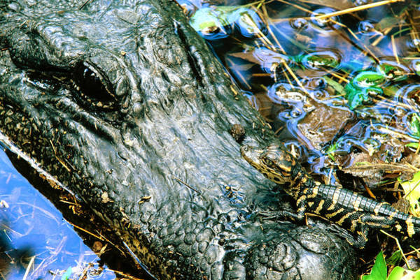 Brazos Bend State Park Wall Art - Photograph - Female American Alligator And New Born by Philippe Henry