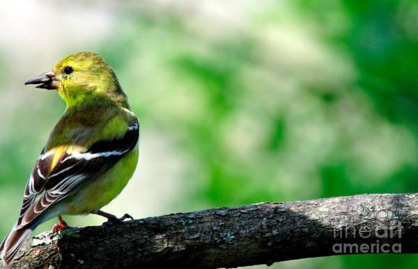 Photograph - Female American Goldfinch  by Thomas R Fletcher