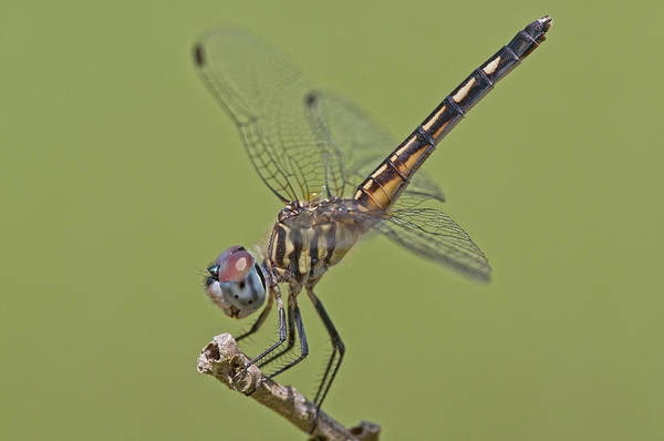Dasher Photograph - Female Blue Dasher Dragonfly by Bonnie Barry