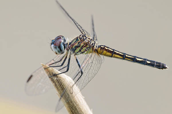Dasher Photograph - Female Blue Dasher Dragonfly Posing Prettily by Bonnie Barry