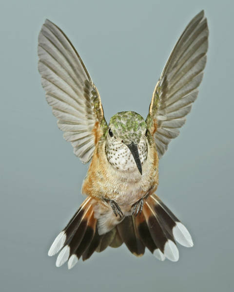 Broad-tailed Hummingbird Photograph - Female Broadtail Hummingbird by Gregory Scott