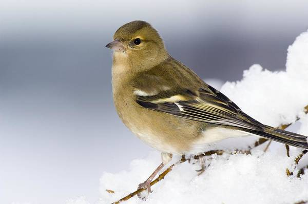 Wall Art - Photograph - Female Chaffinch Perched In A Tree by Duncan Shaw