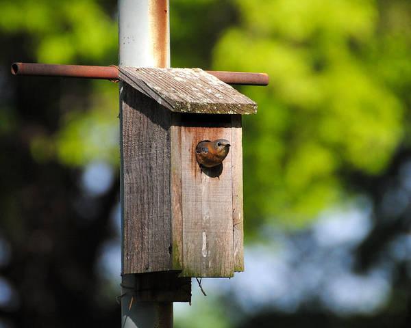 Photograph - Female Eastern Bluebird II by Jai Johnson
