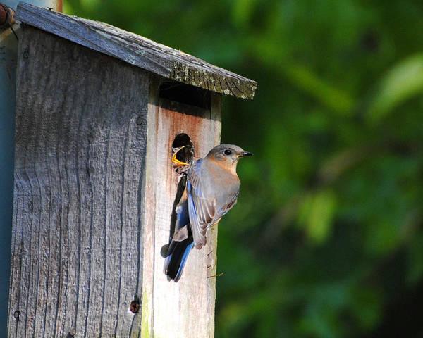Photograph - Female Eastern Bluebird IIi by Jai Johnson