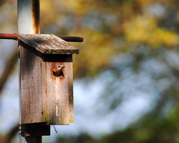Photograph - Female Eastern Bluebird by Jai Johnson