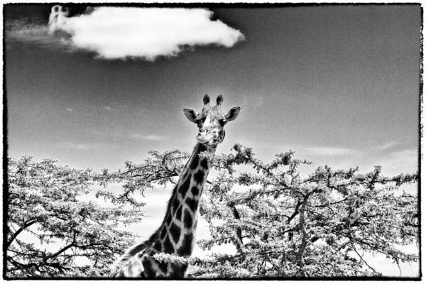 Photograph - Female Giraffe  by Perla Copernik