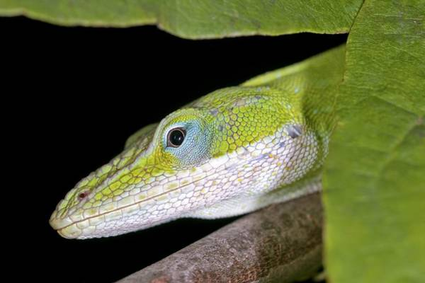 Green Anole Photograph - Female Green Anole by Clay Coleman