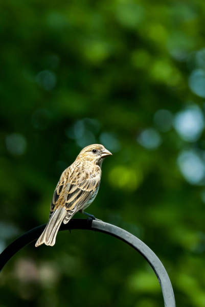 Photograph - Female House Finch Perched by  Onyonet  Photo Studios
