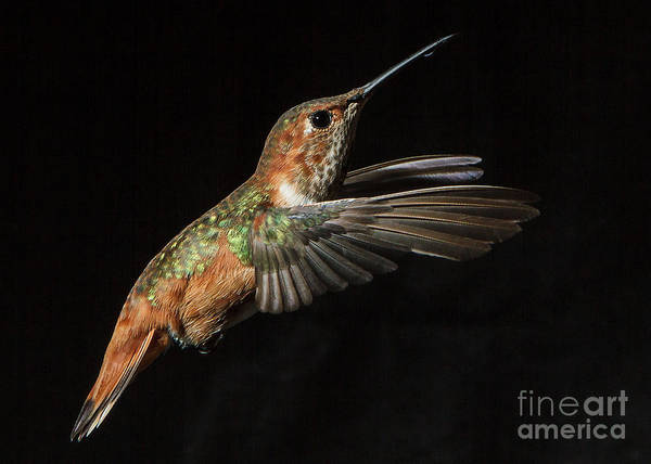 Selasphorus Photograph - Female In Flight  II by Carl Jackson