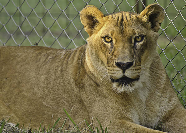 Photograph - Female Lion by Melany Sarafis