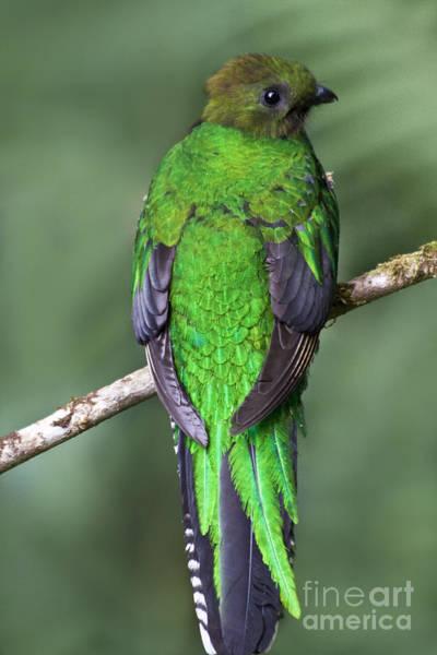 Quetzals Photograph - Female Resplendent Quetzal - Dp by Heiko Koehrer-Wagner