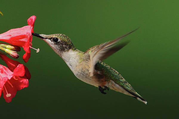 Photograph - Female Ruby-throated by Dale J Martin