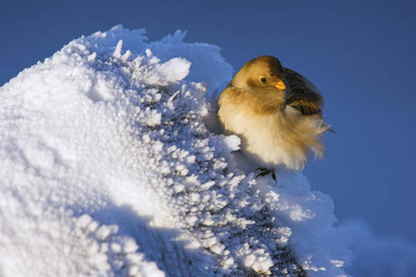 Wall Art - Photograph - Female Snow Bunting by Duncan Shaw