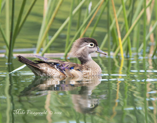 Photograph - Female Wood Duck by Mike Fitzgerald