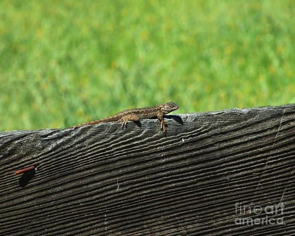 Photograph - Fence Lizard by Kristen Fox