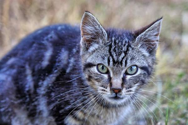 Photograph - Feral Kitten by Chriss Pagani
