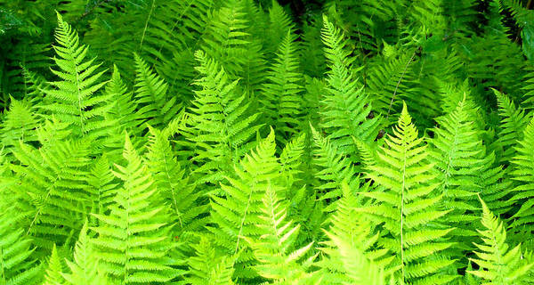 Photograph - Ferns Galore Filtered by Duane McCullough