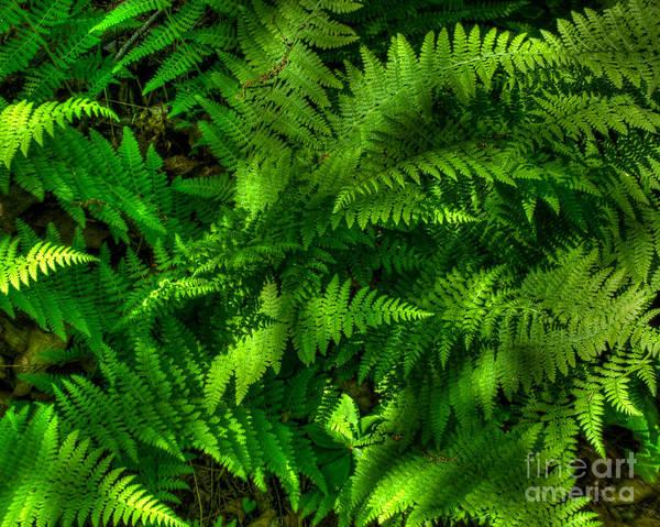 Photograph - Ferns by Mark Dodd