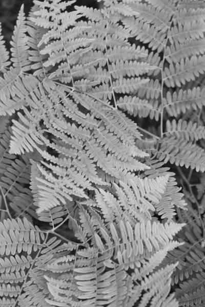 Photograph - Ferns by Rick Berk