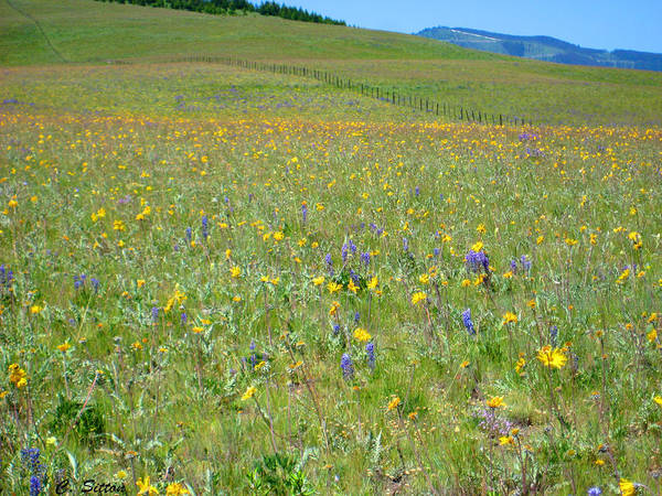 Photograph - Field Of Flowers by C Sitton