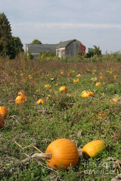 Cucurbitaceae Photograph - Field Of Pumpkins by Ted Kinsman