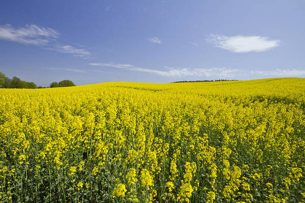 Wall Art - Photograph - Field Of Rapeseeds by Melanie Viola