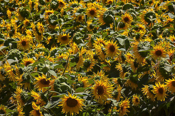 Wall Art - Photograph - Field Of Sunflowers by Garry Gay