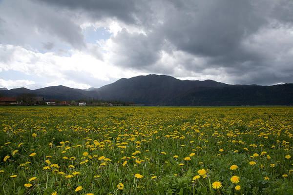 Stormcloud Photograph - Fields Of Dandelion by Ian Middleton