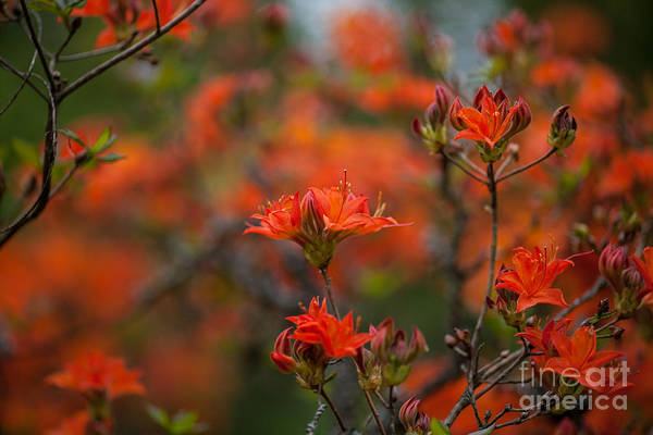 Rhododendrons Photograph - Fiery Spring by Mike Reid