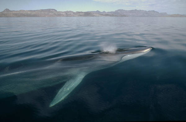 Photograph - Fin Whale Balaenoptera Physalus by Flip Nicklin