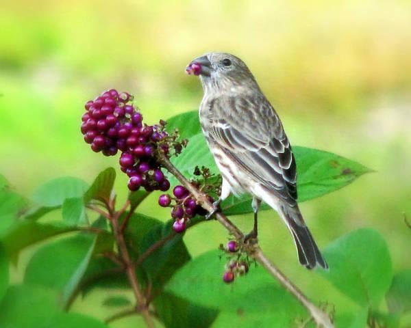 Finch Eating Beautyberry Art Print