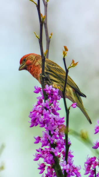 House Finch Wall Art - Photograph - Finch On Blooming Branch by Bill Tiepelman