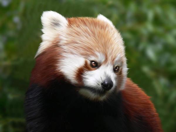 Firefox Digital Art - Firefox by Julie L Hoddinott