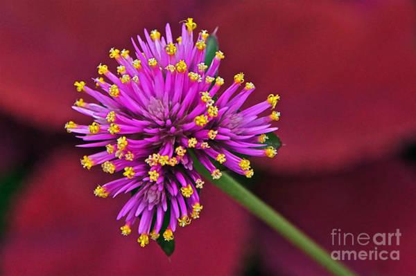 Photograph - Fireworks Flower by Byron Varvarigos