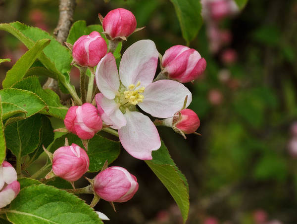 Apple Blossom Photograph - First Blush by Susan Capuano