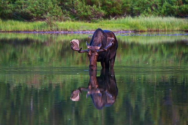 Photograph - Fishercap Bull by Mark Kiver