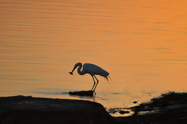 Photograph - Fishing Egret by Bill Cannon