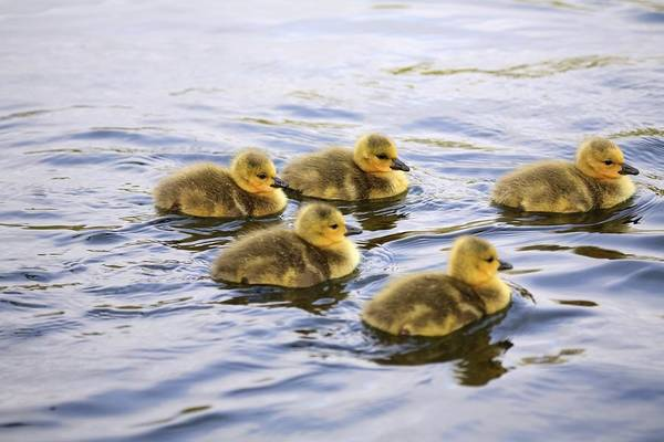 Gosling Photograph - Five Goslings In The Water by Craig Tuttle