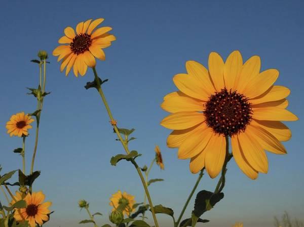 Photograph - Five Sunflowers by Don Kreuter