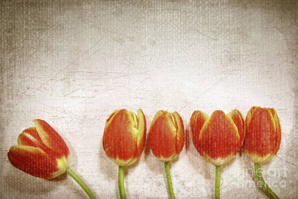 Wall Art - Photograph - Five Tulips by Sandra Cunningham