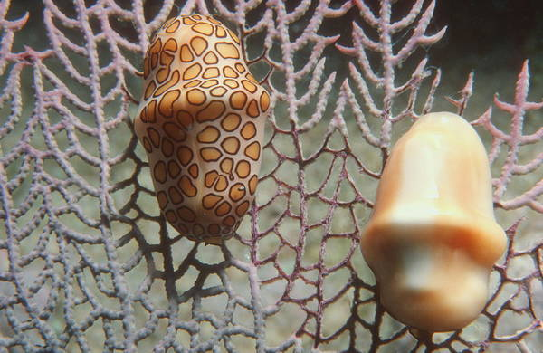 Andros Photograph - Flamingo Tongue Snails by Georgette Douwma