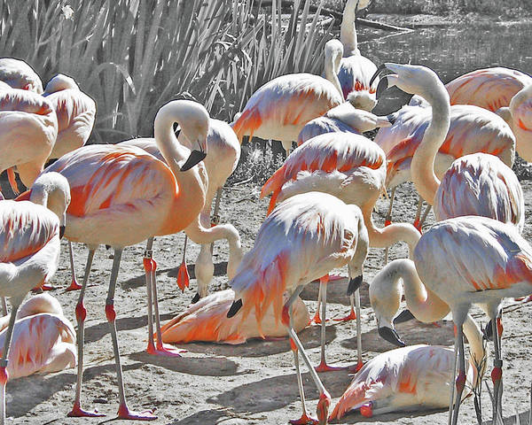Photograph - Flamingos  by Lizi Beard-Ward