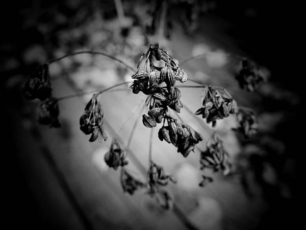 Photograph - Flat-leaf Parsley Seeds by Beth Akerman