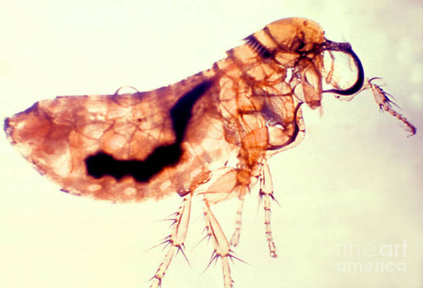 Photograph - Flea Infected With Plague by Science Source