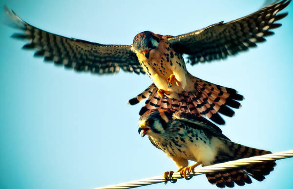Photograph - Flight Of The Hawk by Daniel Marcion