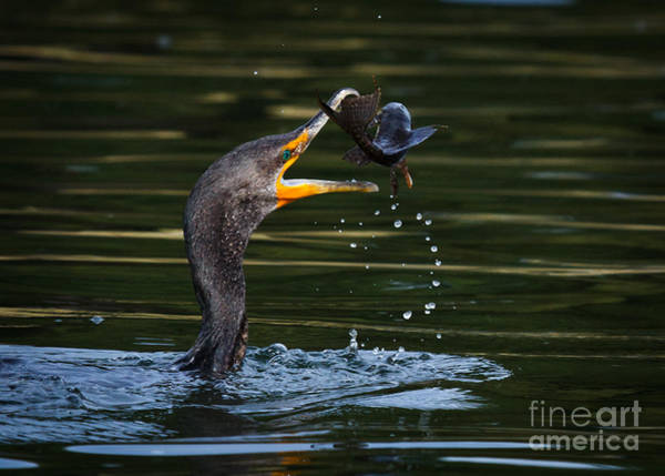 Phalacrocorax Auritus Wall Art - Photograph - Flippin Fish by Carl Jackson