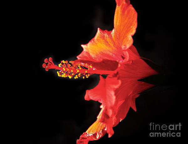 Mallow Family Wall Art - Photograph - Floating Hibiscus by Robert Bales